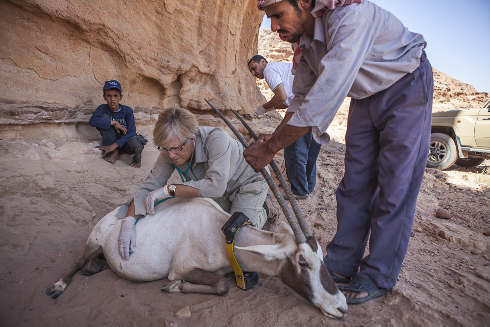 Dr.Cotton examines the dying Arabian Oryx - Wadi Rum, Jordan - ©Uchujin-Adrian Storey. All Rights reserved.