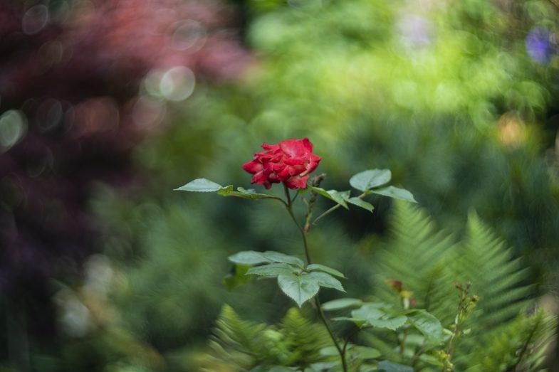 Helios 40 Rose - ©Uchujin/Adrian Storey 2019